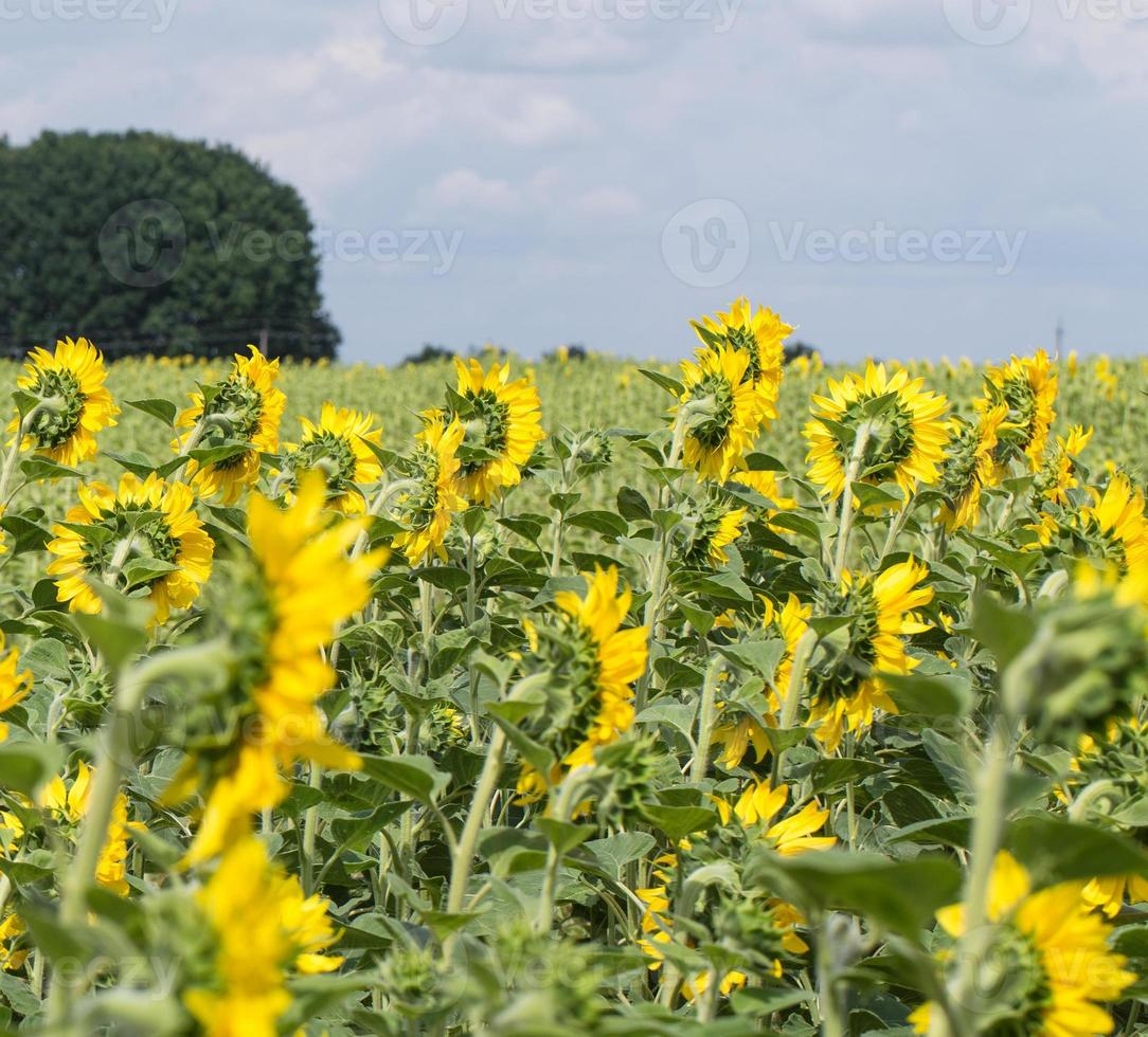 Sunflowers grow on the agricultural field. photo