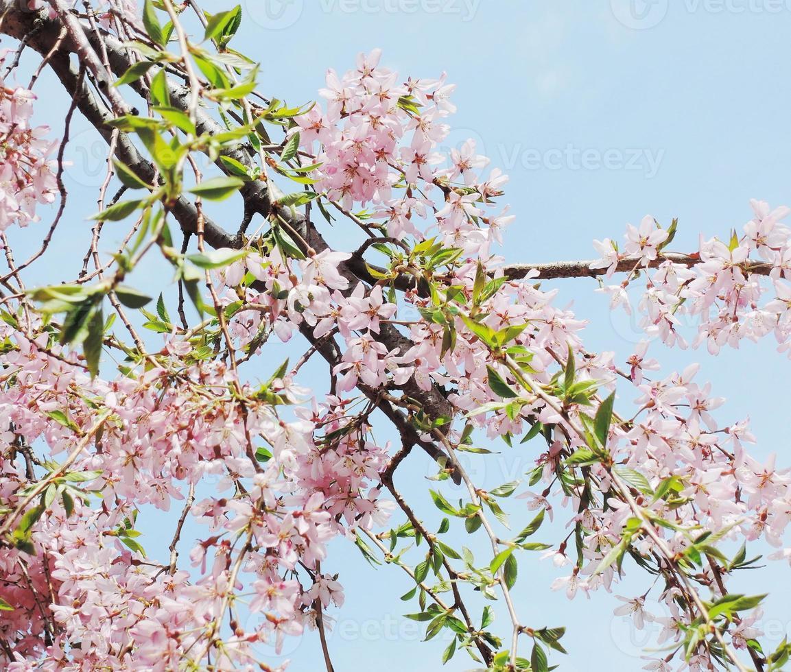 Japanese cherry photo