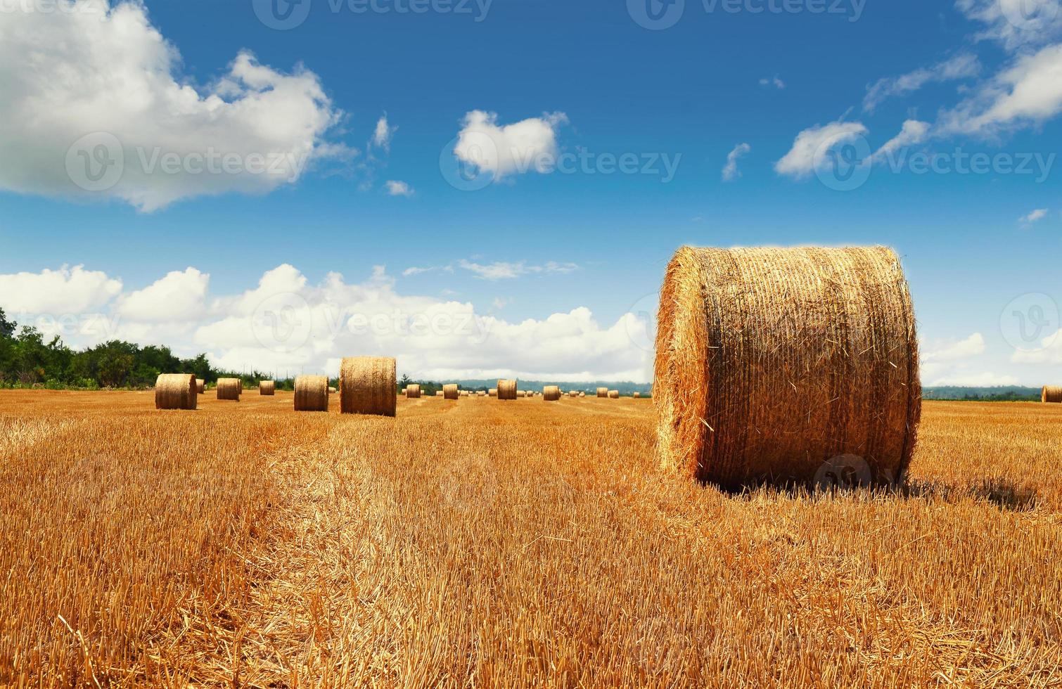 Harvested haybales in a field photo