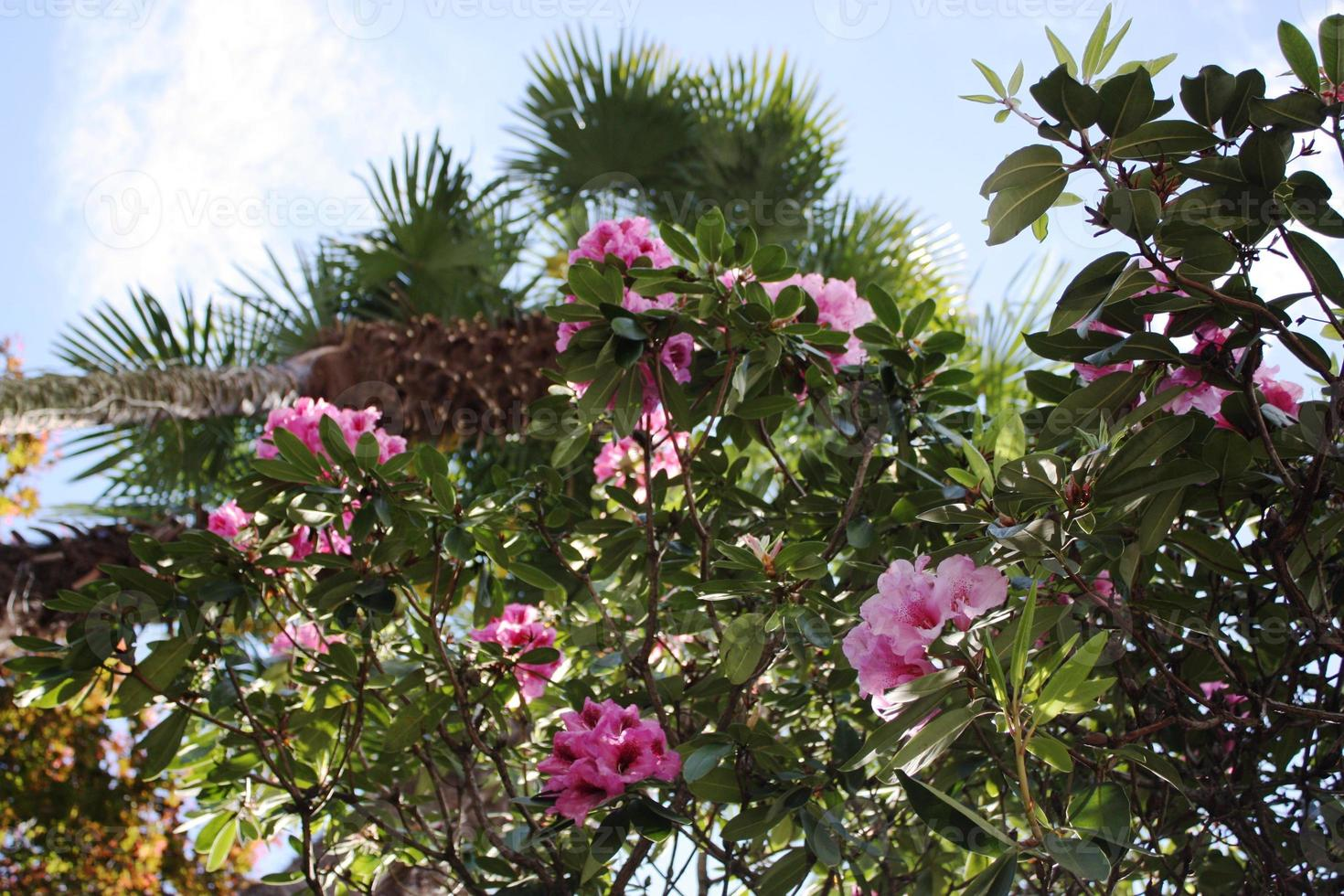 Rhododendron Hybride 'Berliner Liebe' Beautiful colorful flower under big palms photo