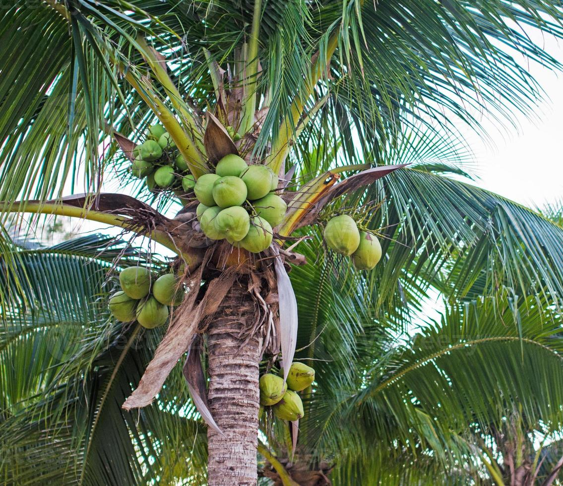 Sweet Coconut tree photo