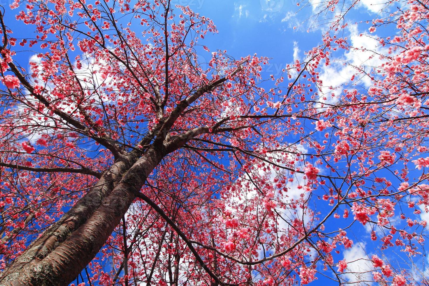 Pink cherry blossom photo