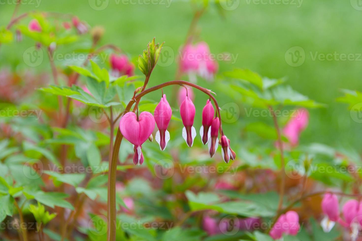 Bleeding heart flowers  in spring garden. photo