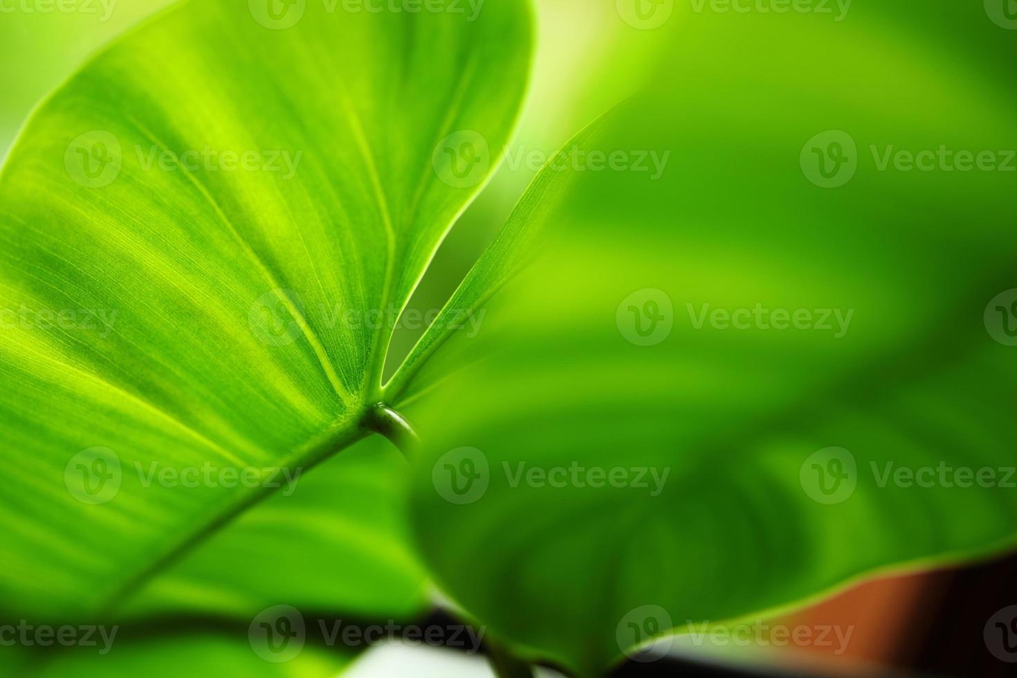Cerca De Hojas Verdes De Filodendro En Forma De Corazón Cariño Foto De Stock