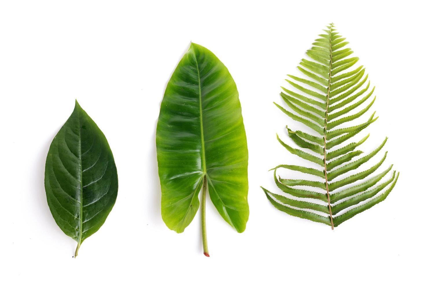 Conjunto de hojas verdes tropicales aislado sobre fondo blanco. foto