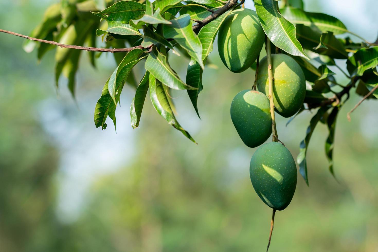 mangues fraîches sur l'arbre photo