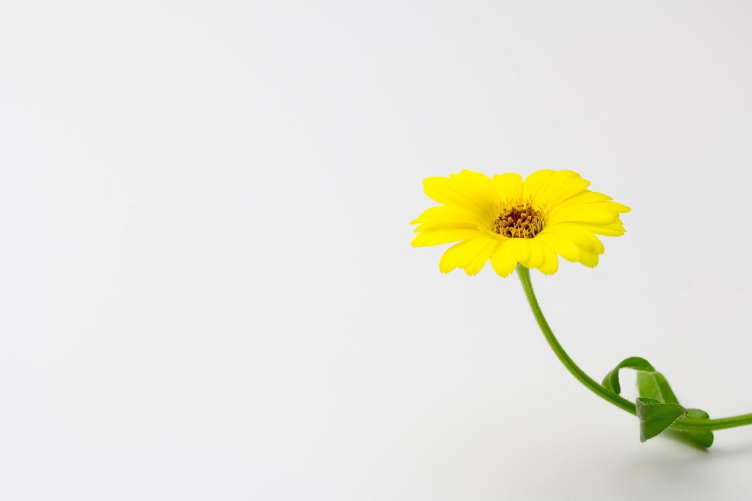 calendula, fleur, jaune, couleurs, nature, printemps photo