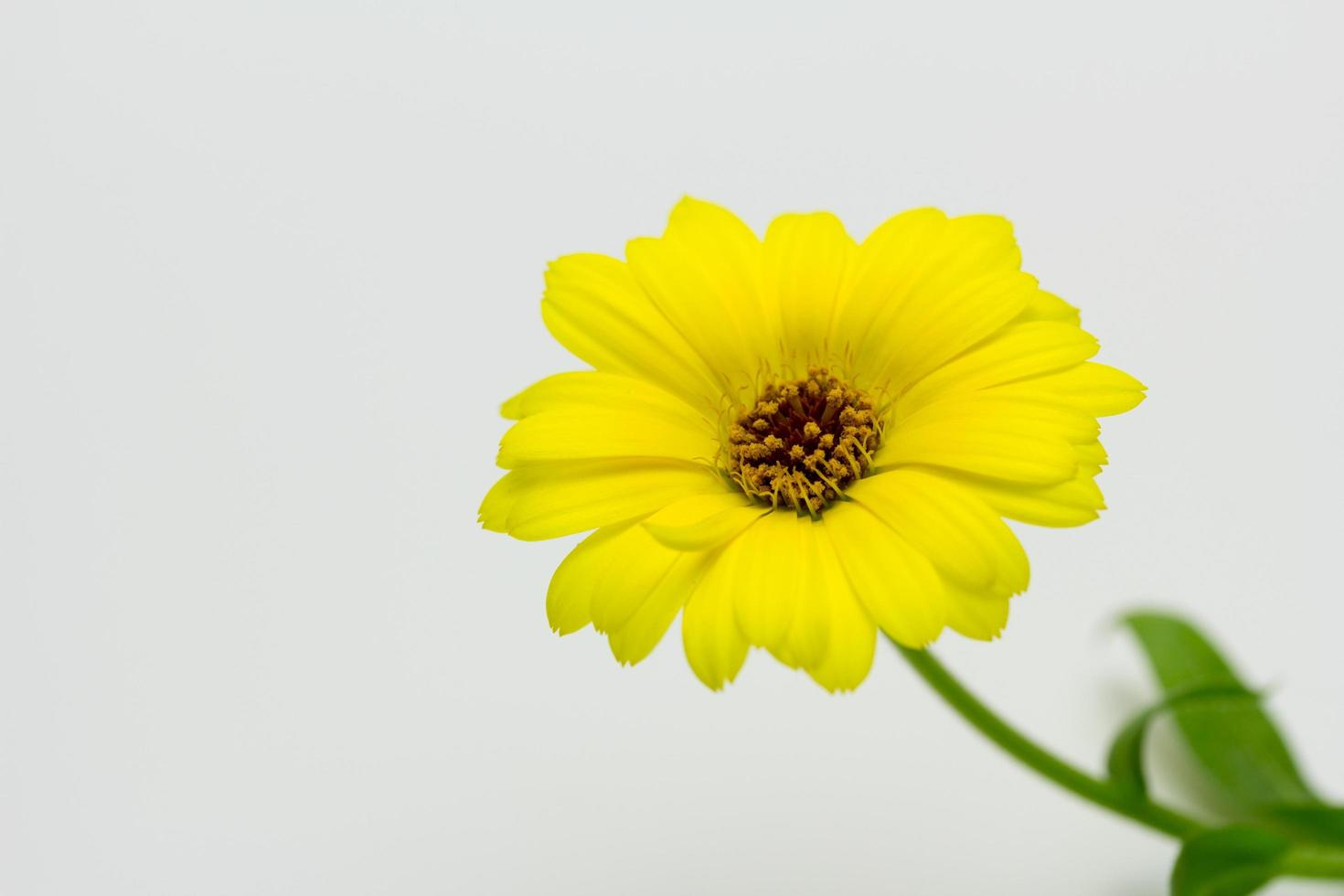 caléndula, flor, amarillo, colores, naturaleza, primavera foto