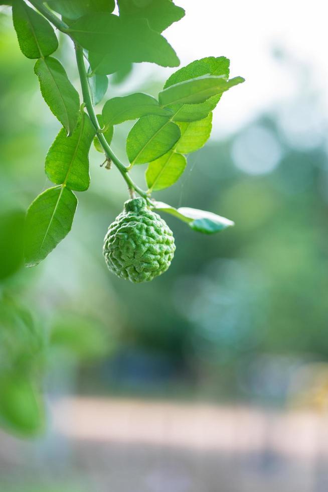 bergamotto frutta su un albero foto