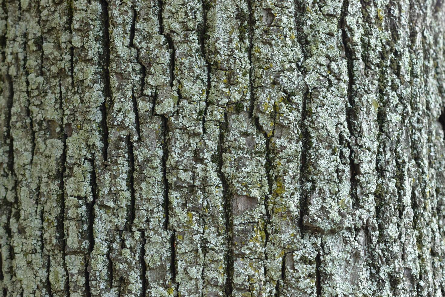 corteza de árbol con líquenes foto