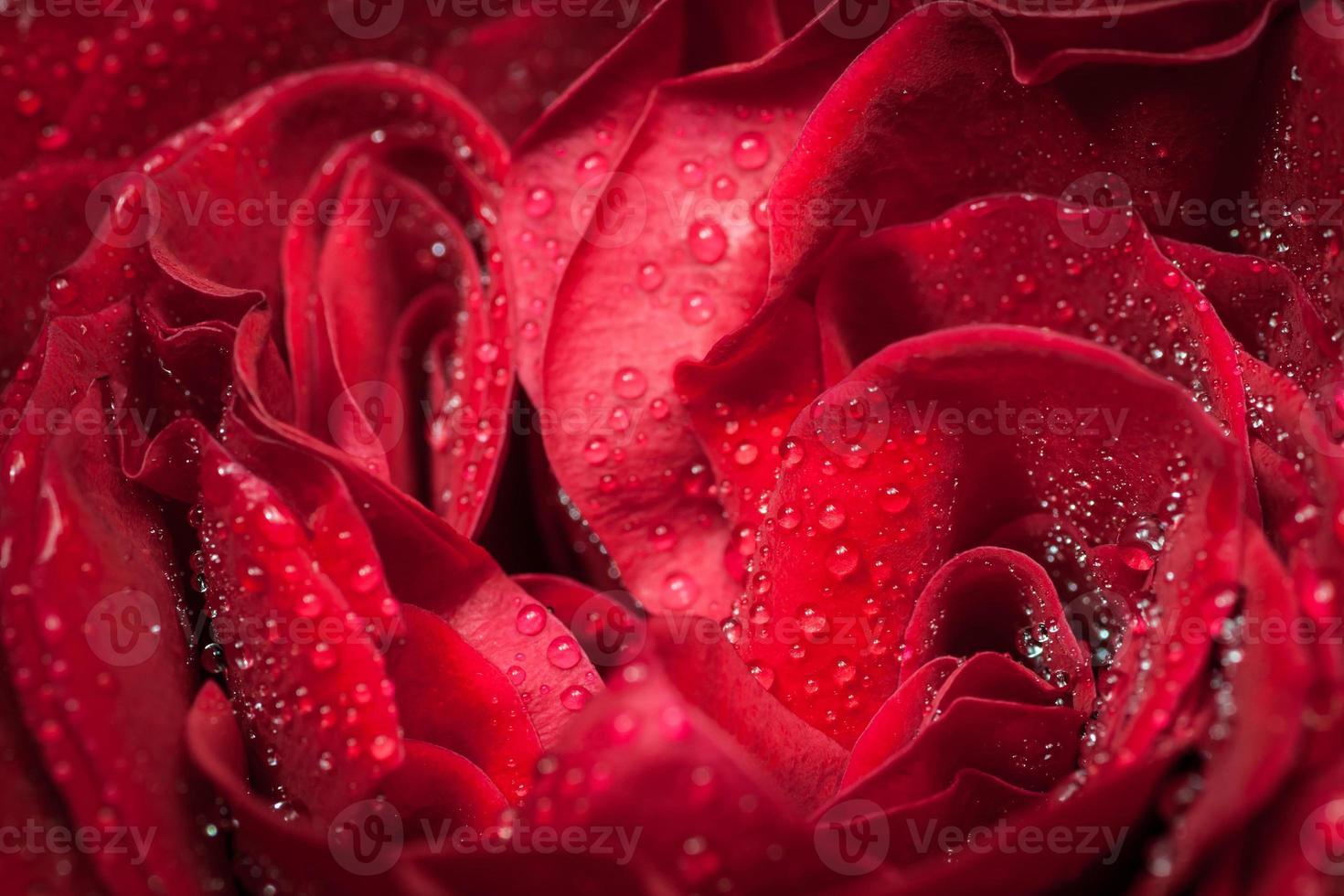 roos met waterdruppels. foto