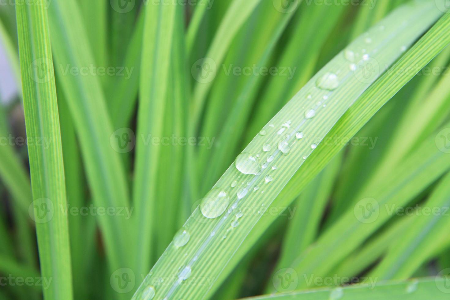 gocce d'acqua sulle foglie di citronella foto
