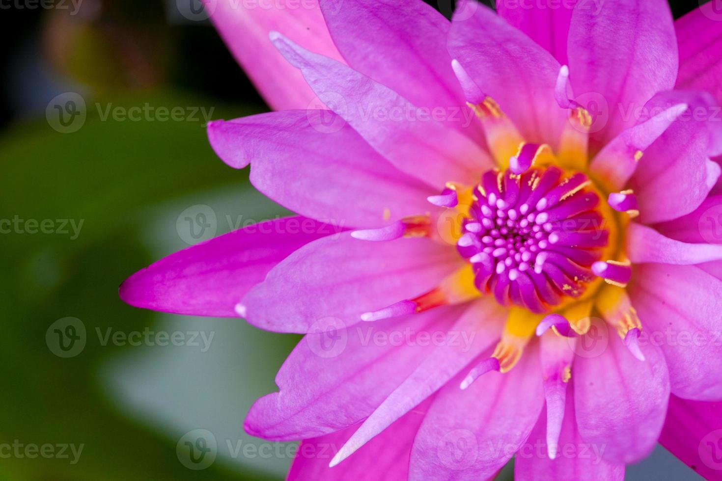 lotus water bloem achtergrond foto