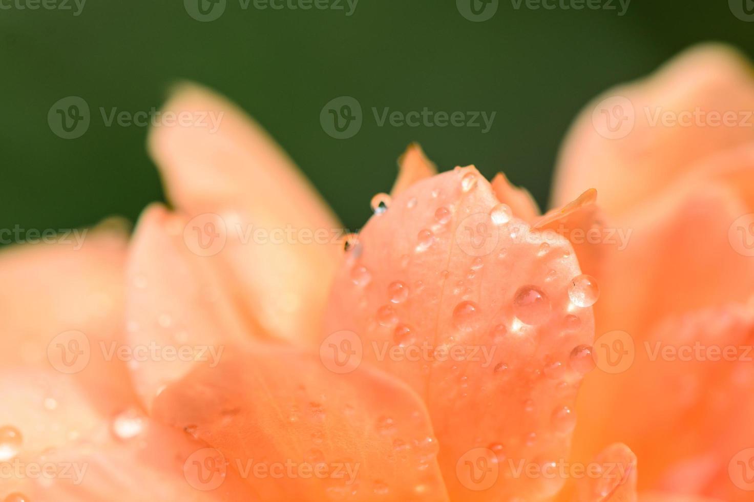 waterdruppels op oranje rozenblaadje. foto