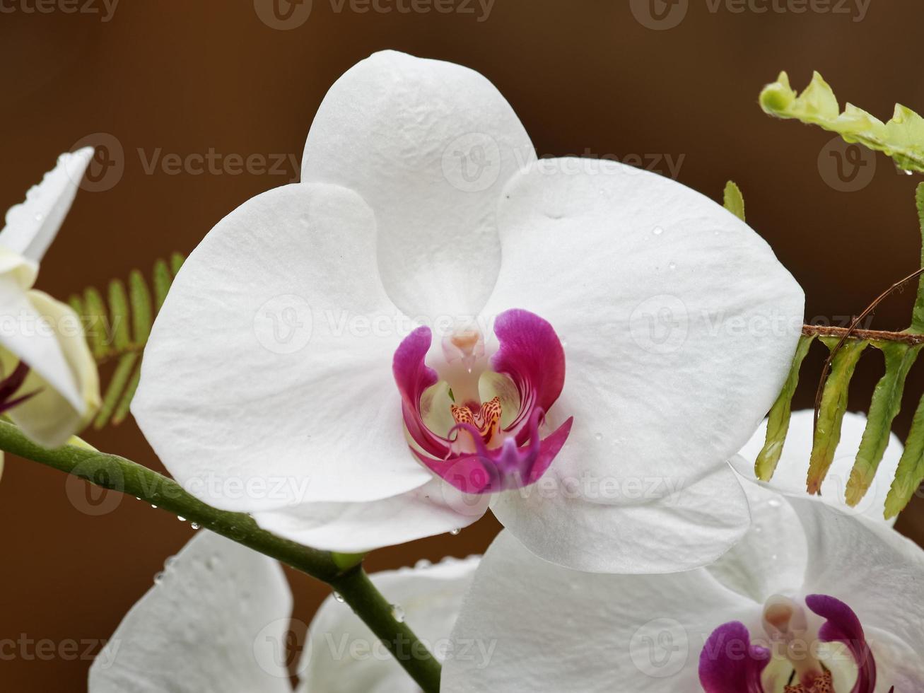 weiße Orchideen mit lila Herz foto