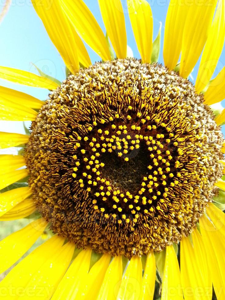 Beautiful sunflower heart shape valentine photo