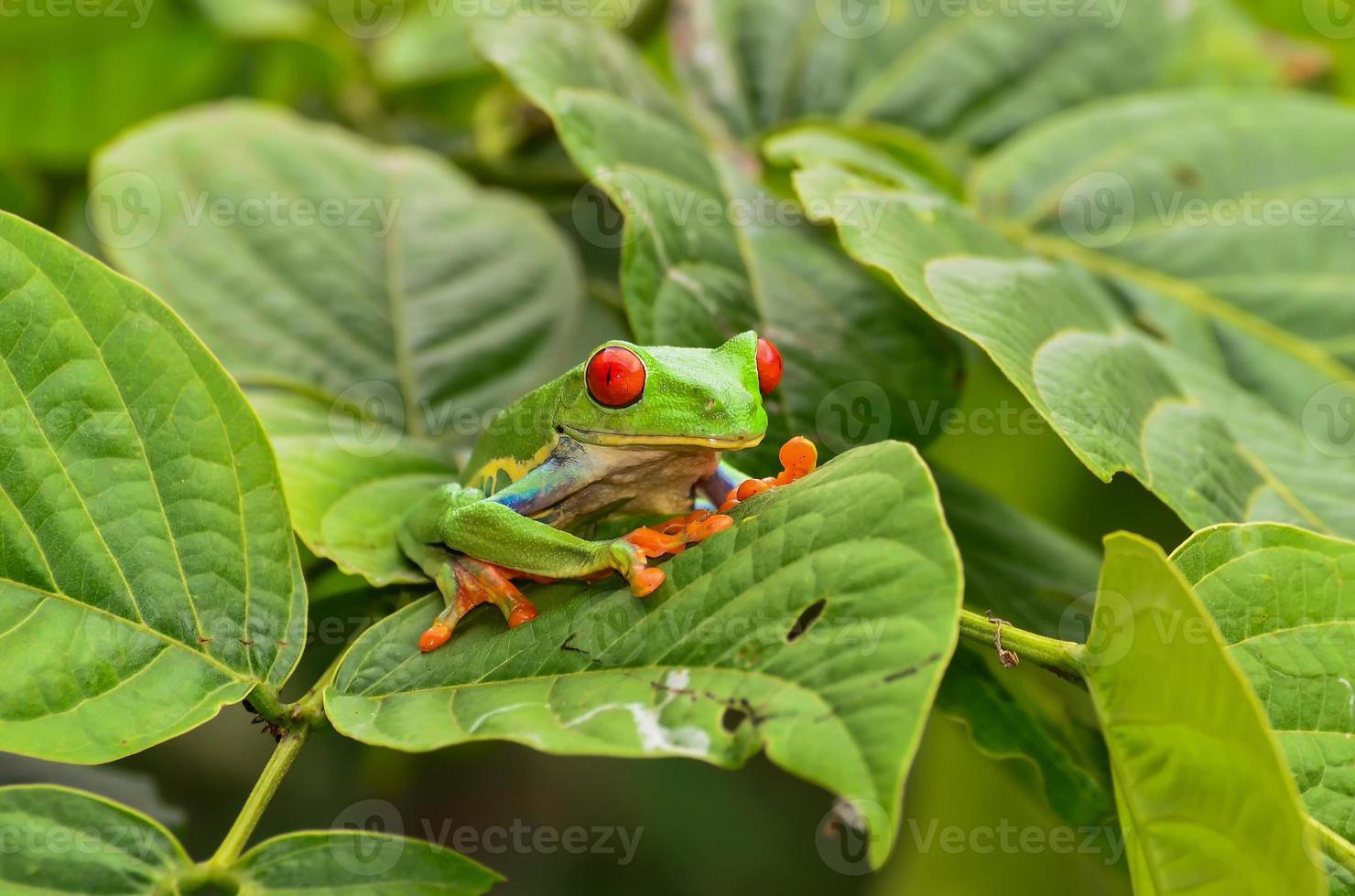 rana arbórea de ojos rojos foto