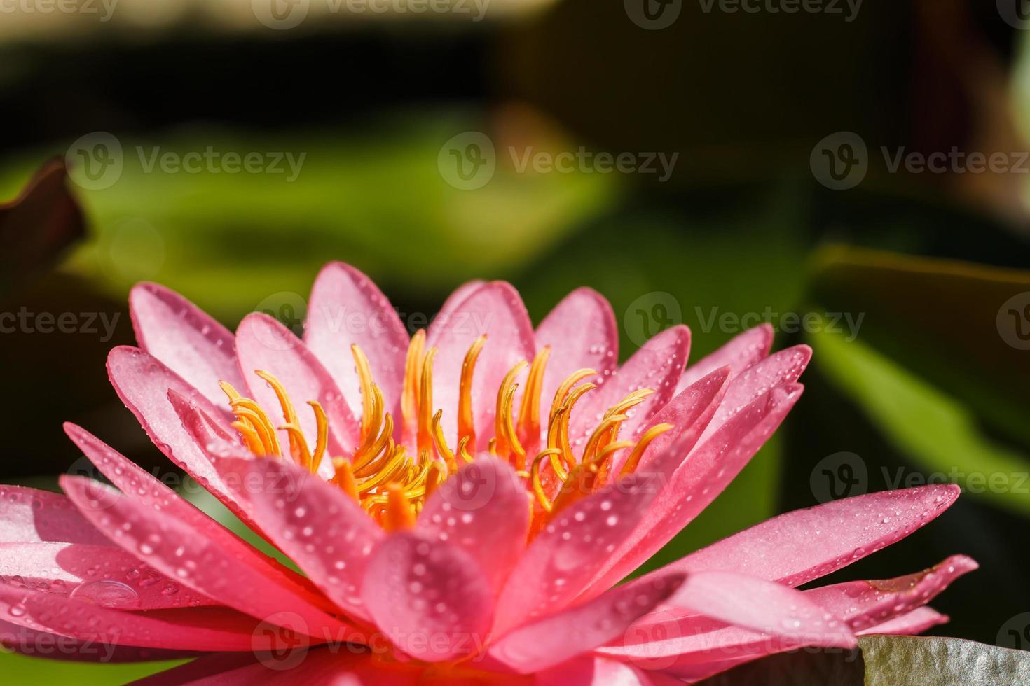 lirio de agua rosa foto