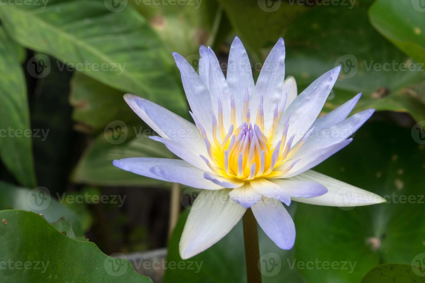 flor de loto en el agua foto