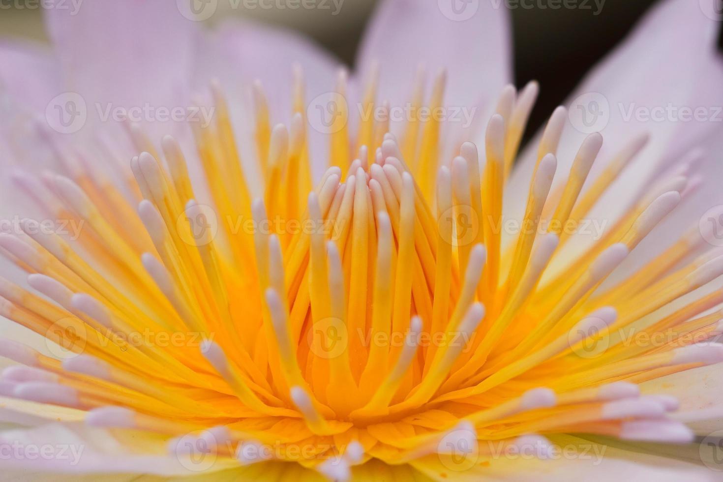 lirio de agua amarillo foto