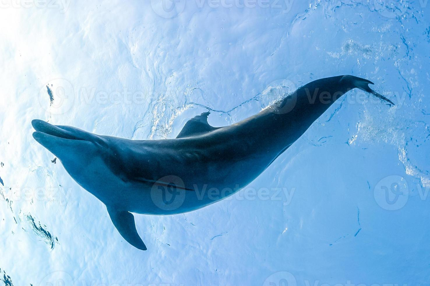 Dolphin in blue water photo
