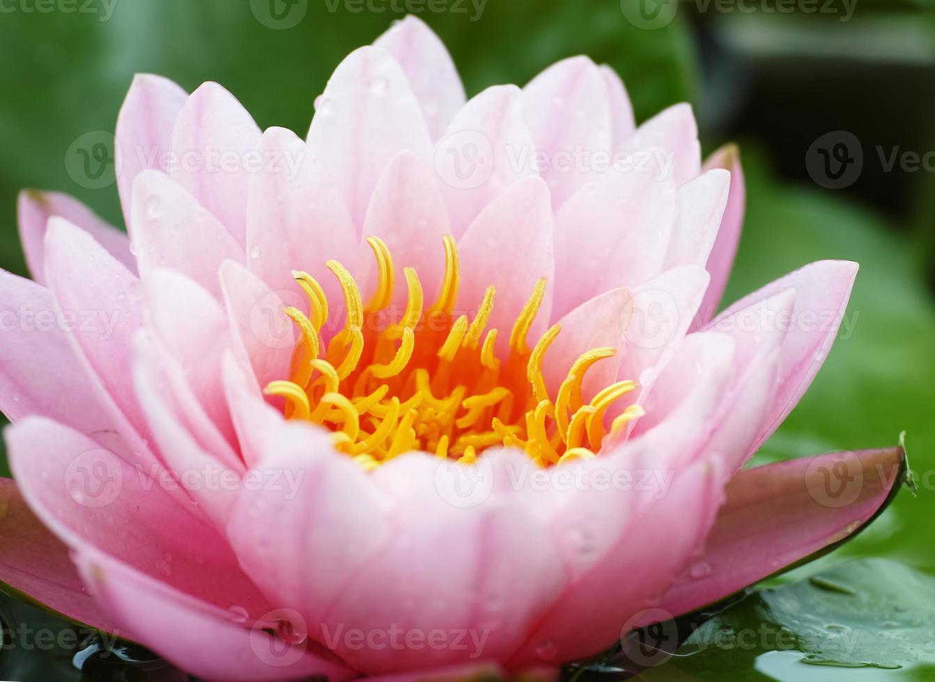 lirio de agua, flor de loto foto