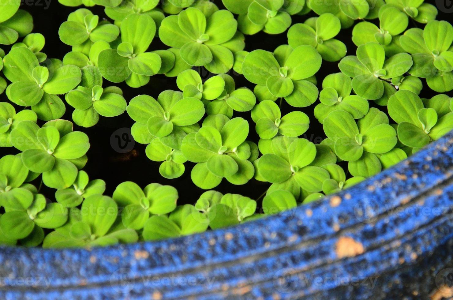 textura de jacinto de agua foto
