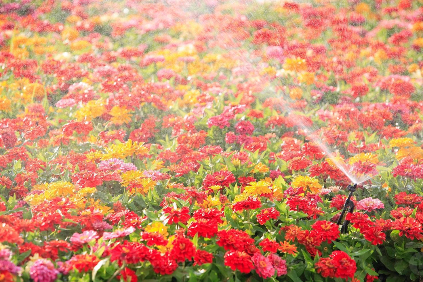 sprinkler head watering the flower photo