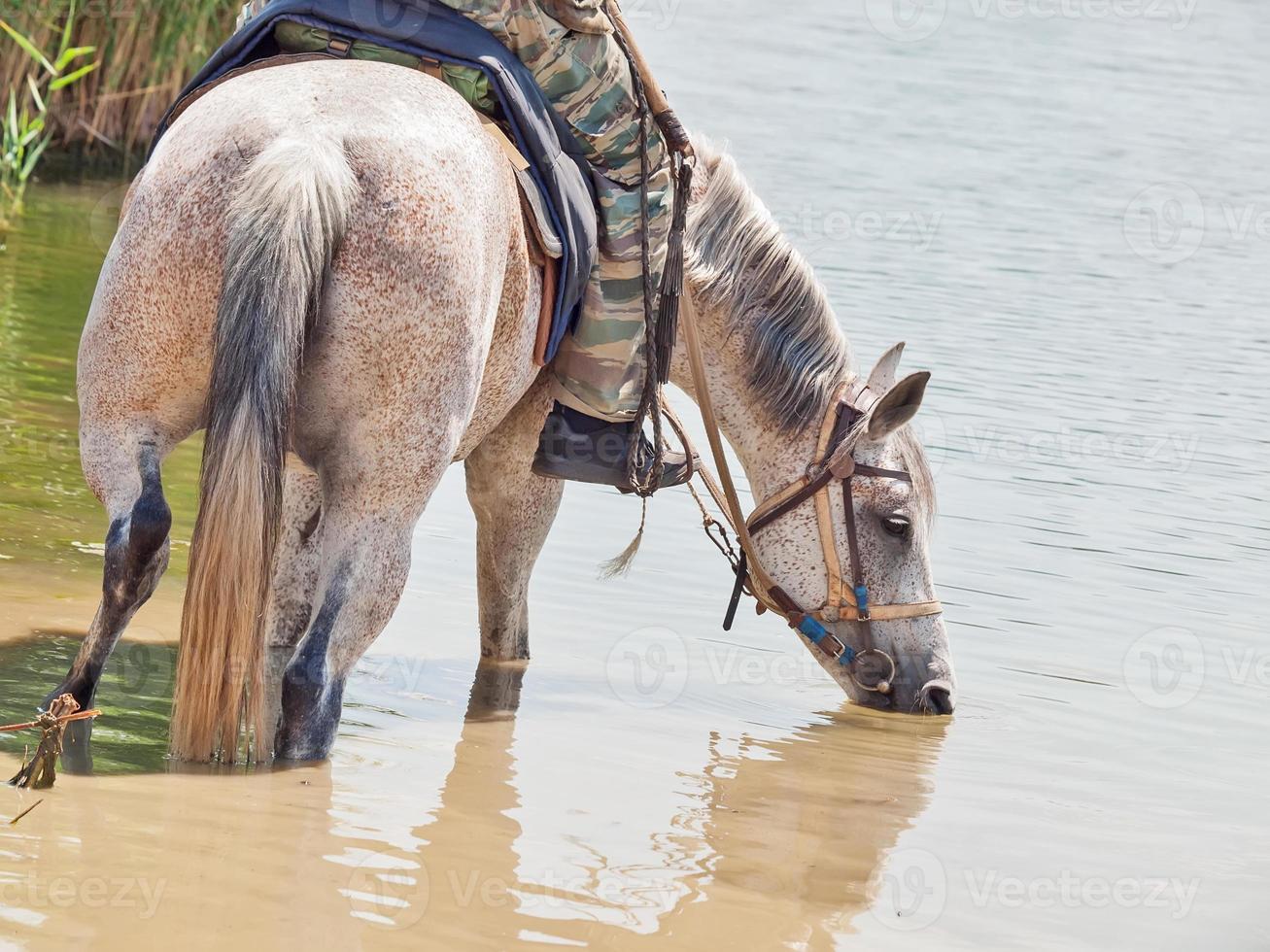 caballo de ganado con jinete en el agua foto