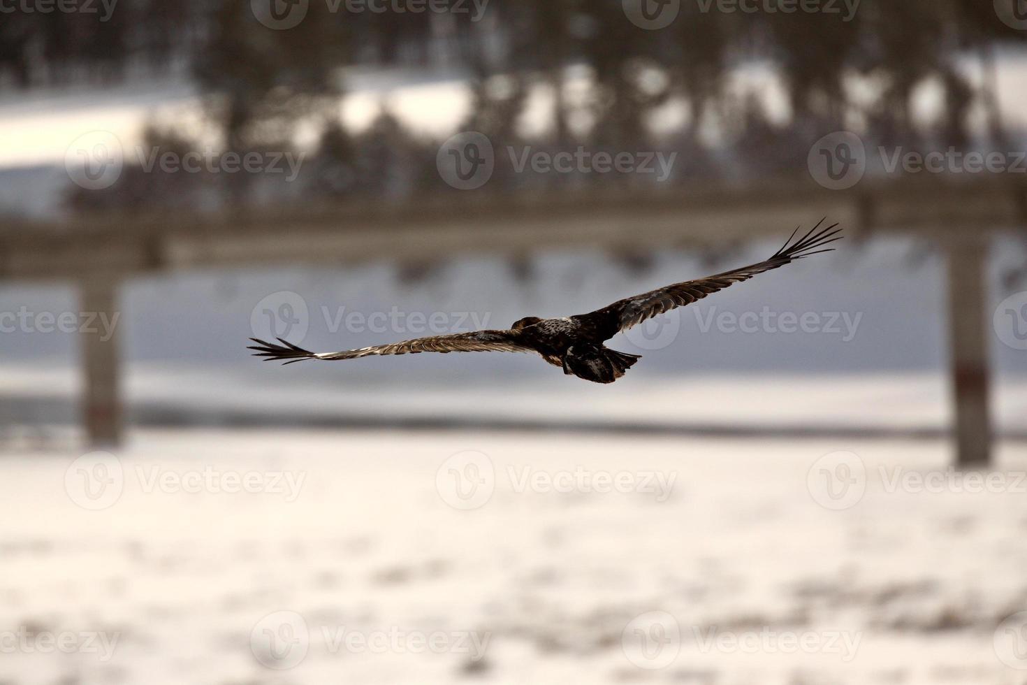 águila calva en vuelo foto