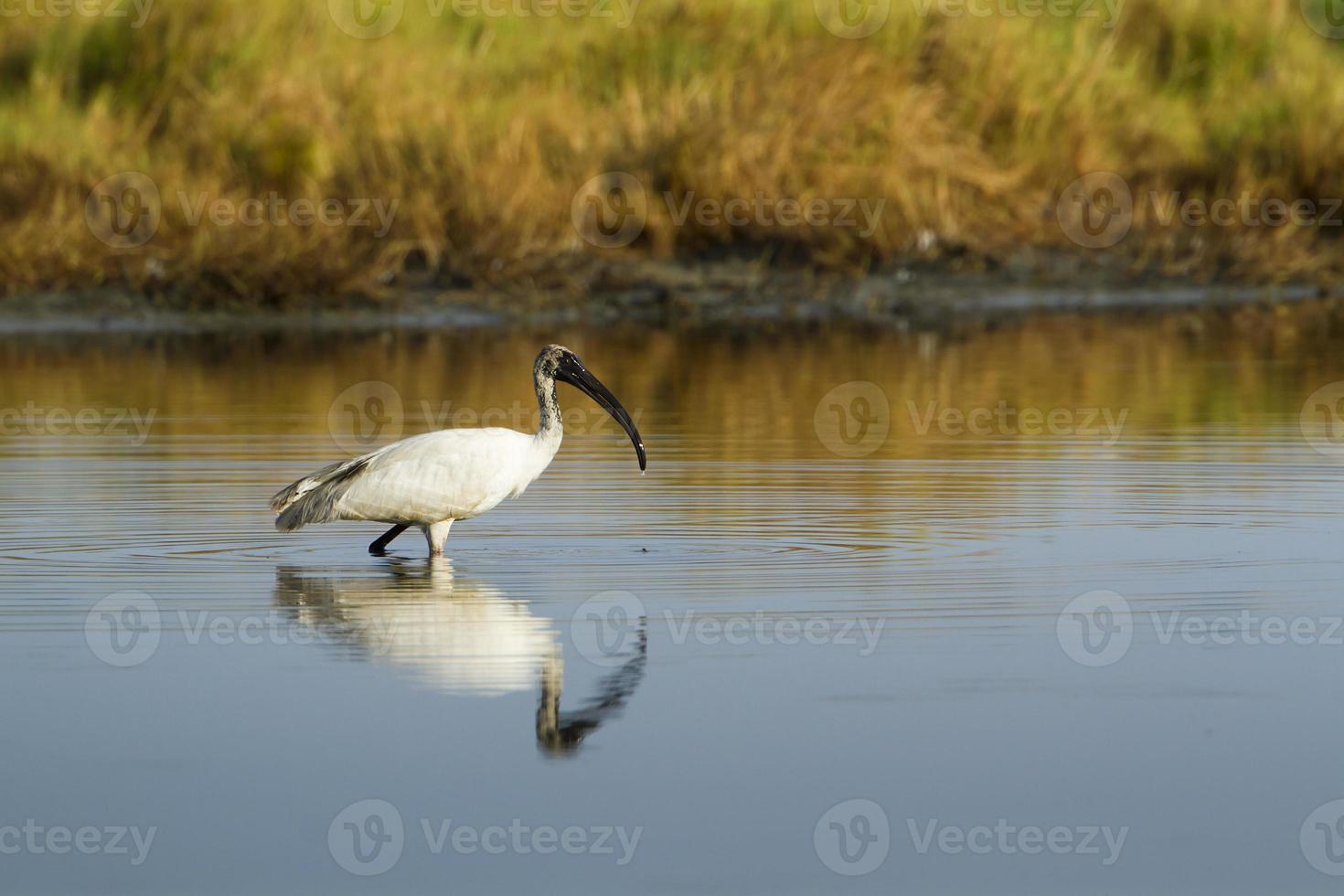 ibis de cabeza negra inmaduro en pottuvil, sri lanka foto