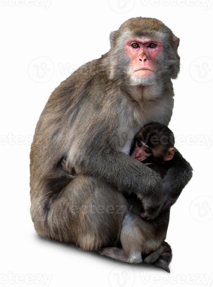 macaco japonés, macaca fuscata foto