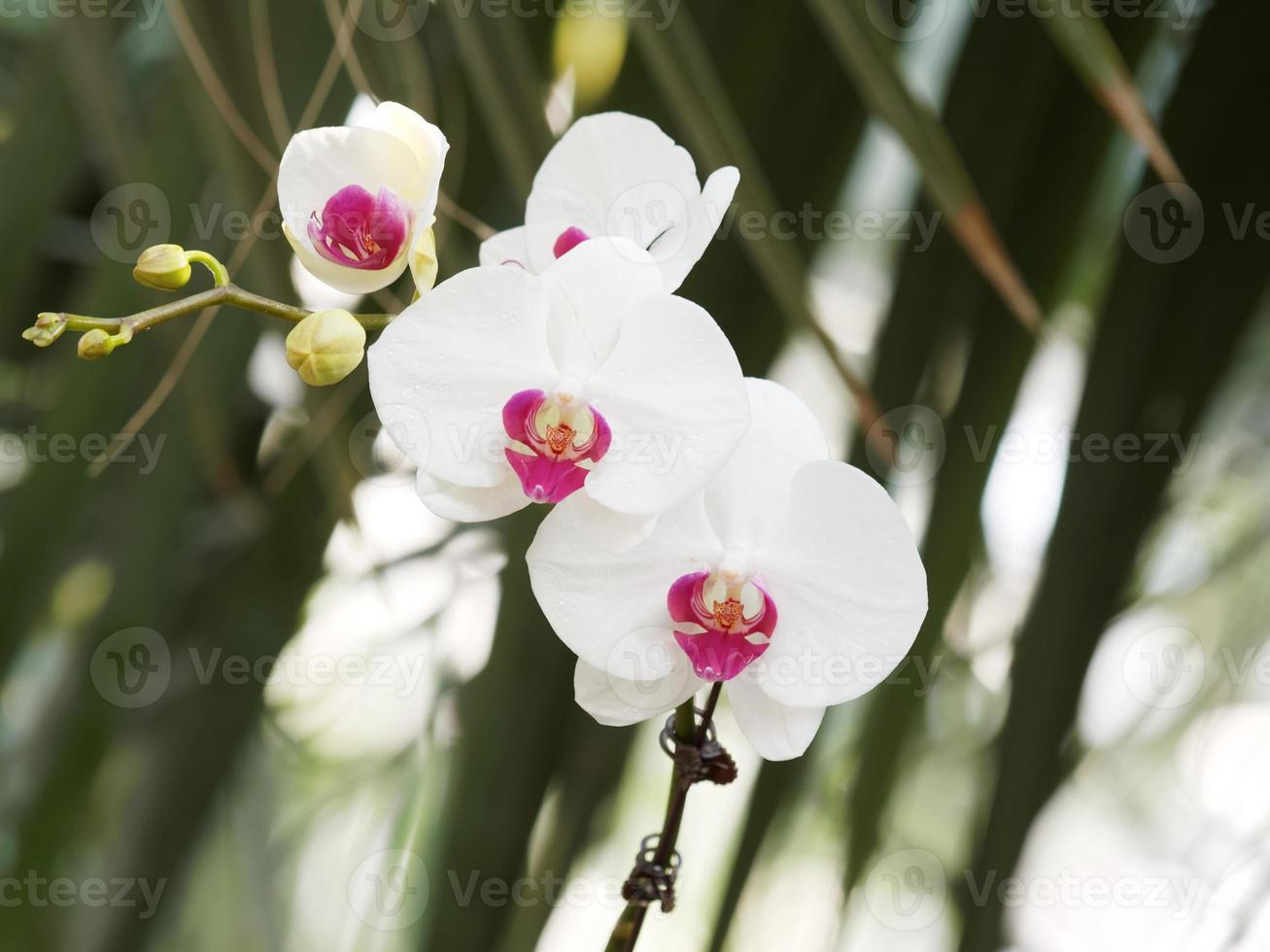 orquídeas blancas con corazón morado foto