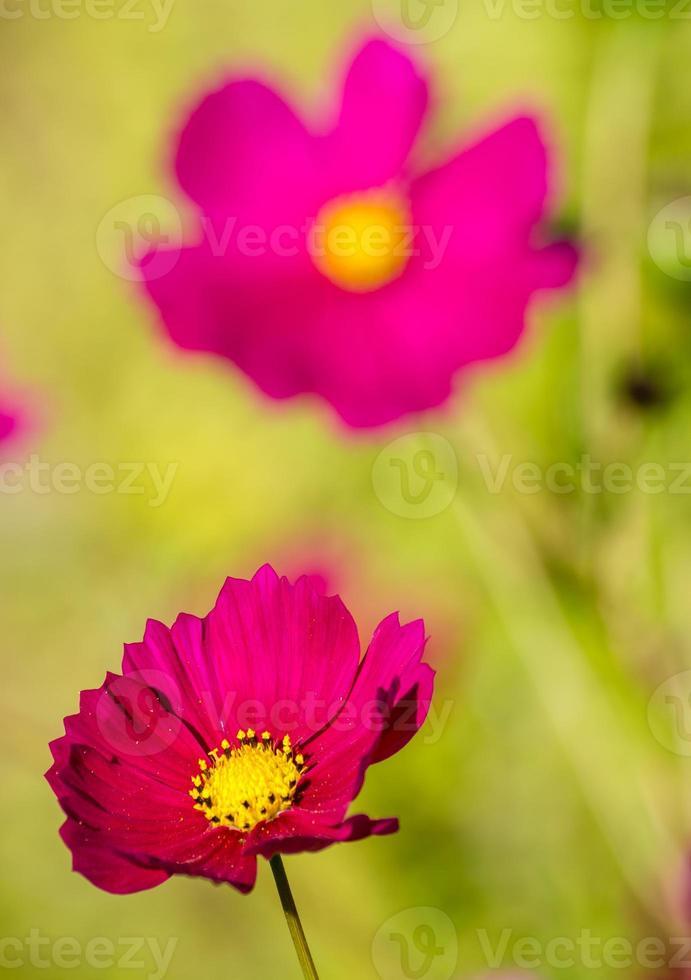 flor rosa con corazon amarillo foto
