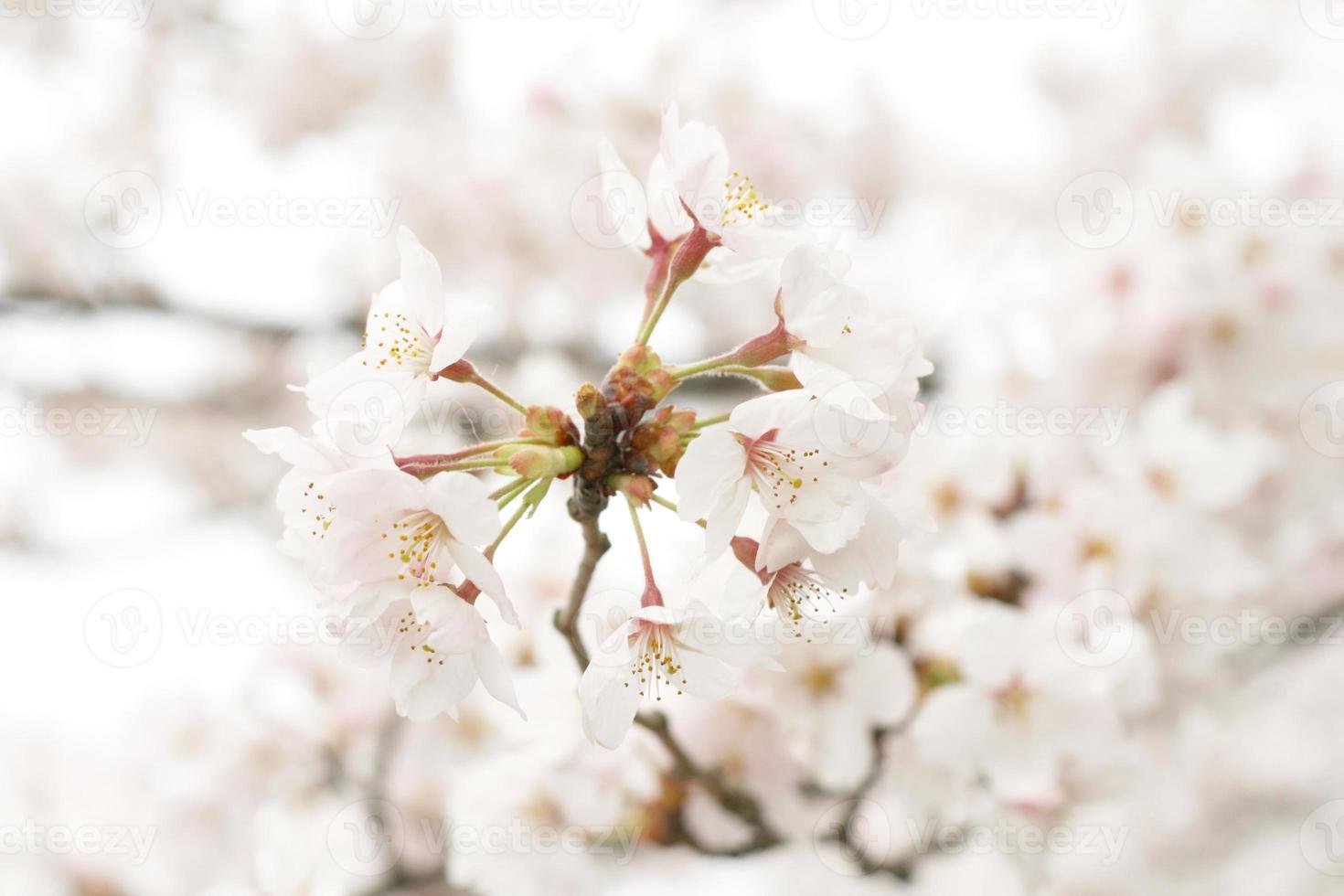 flor de cerezo en forma de corazón foto