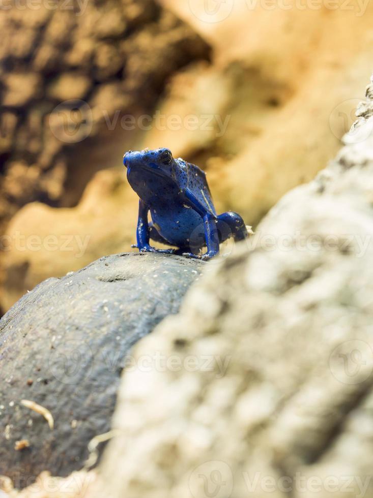 Blue arrow frog photo