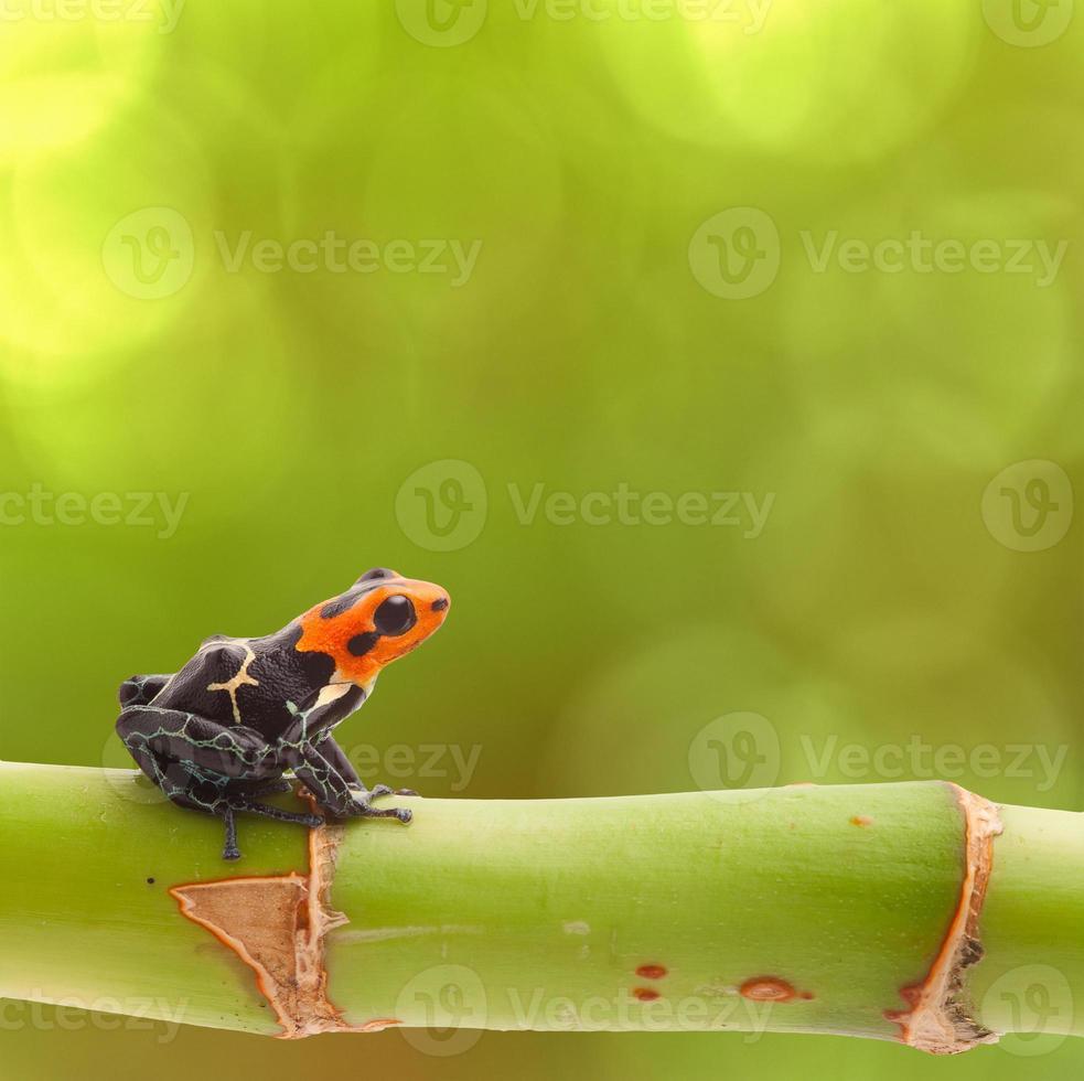 poison arrow frog photo