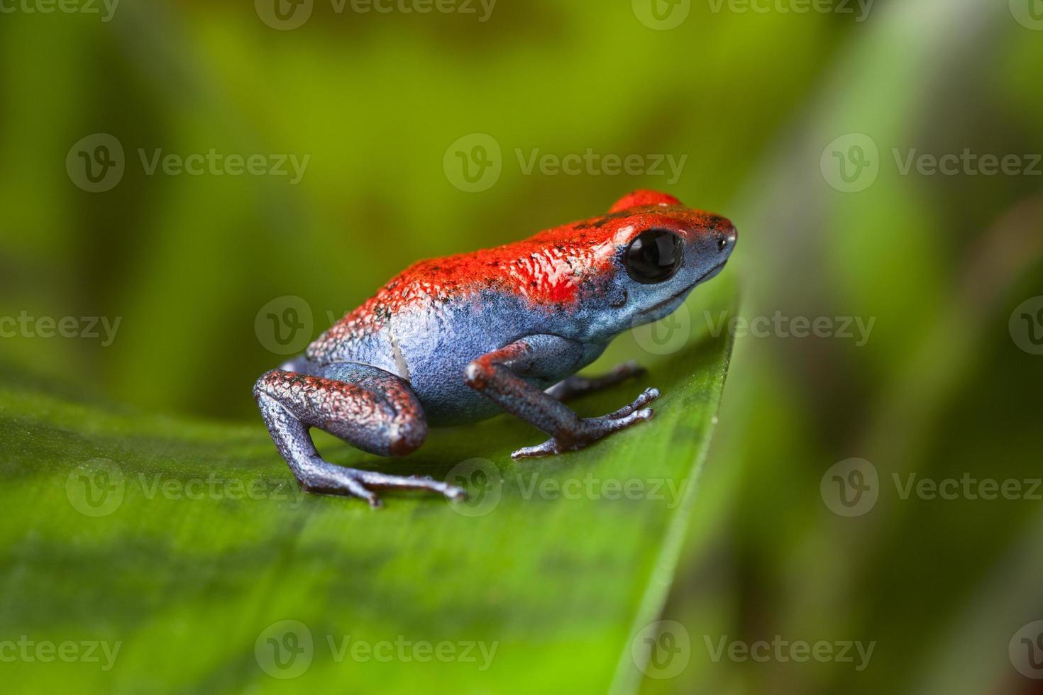 poison dart frog photo
