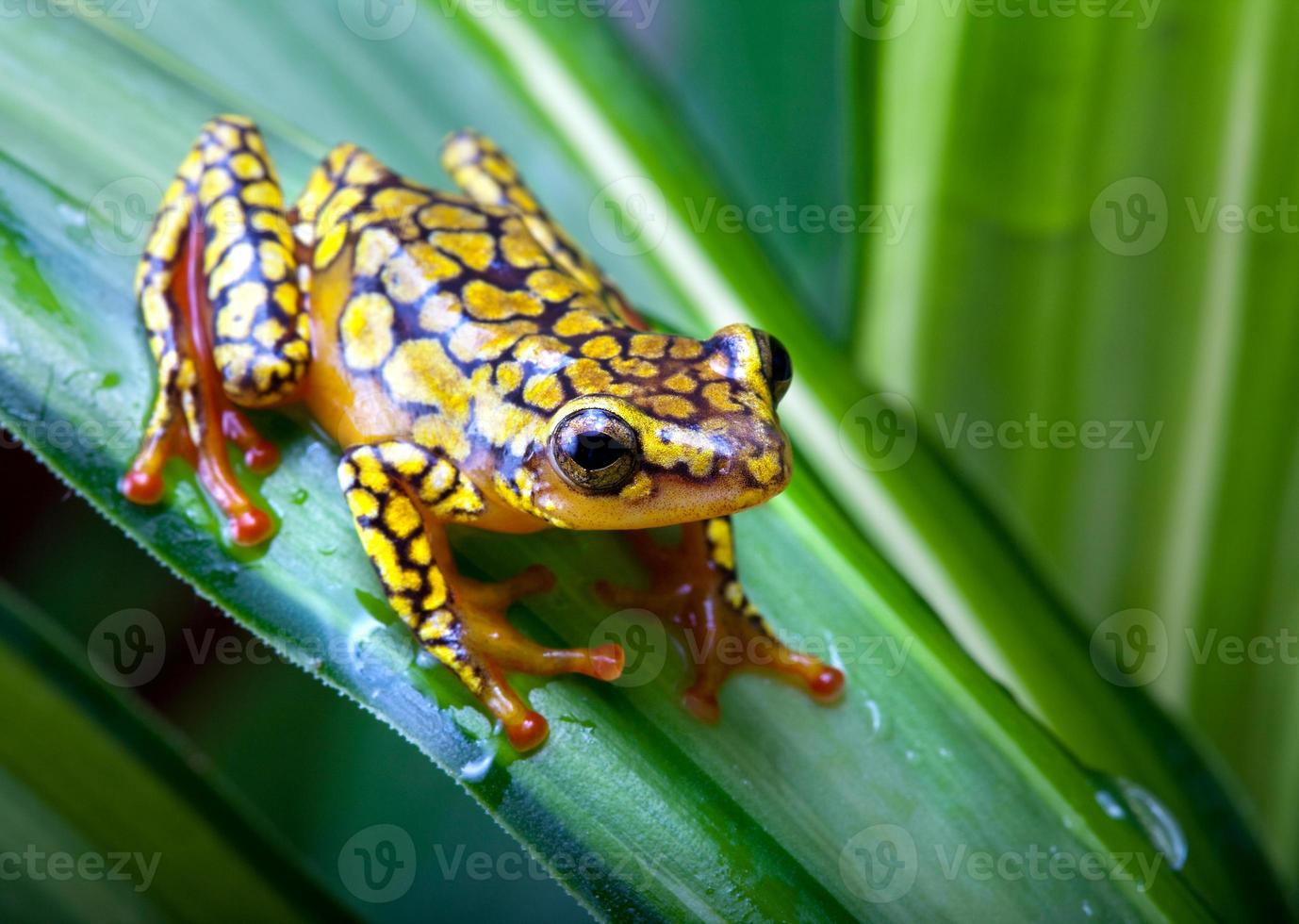 Close-up photograph of a harlequin poison-dart frog photo