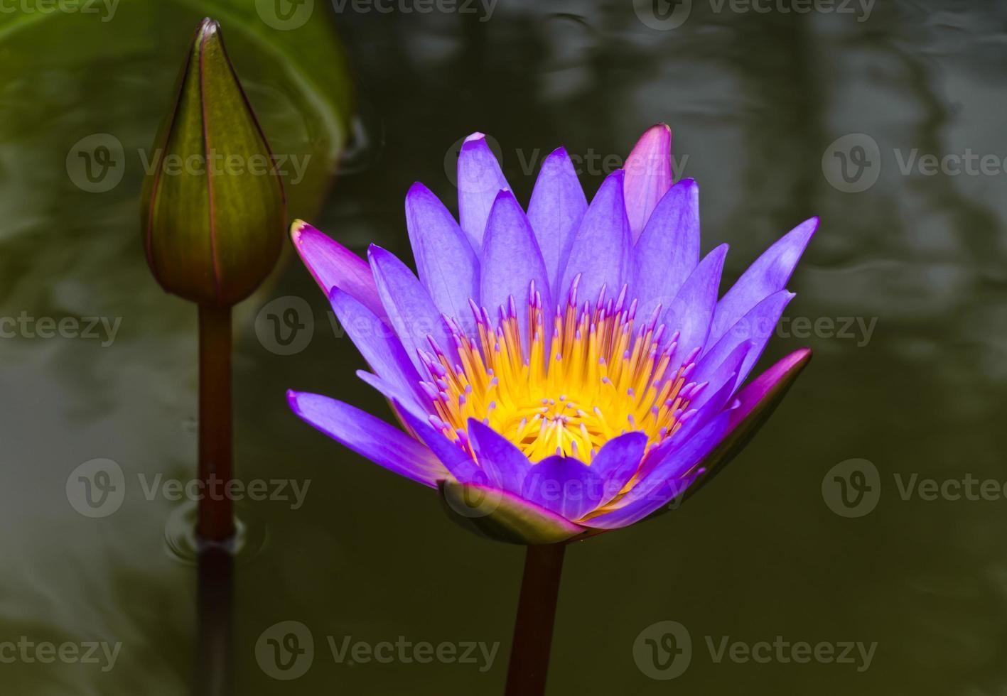 flor de loto púrpura foto
