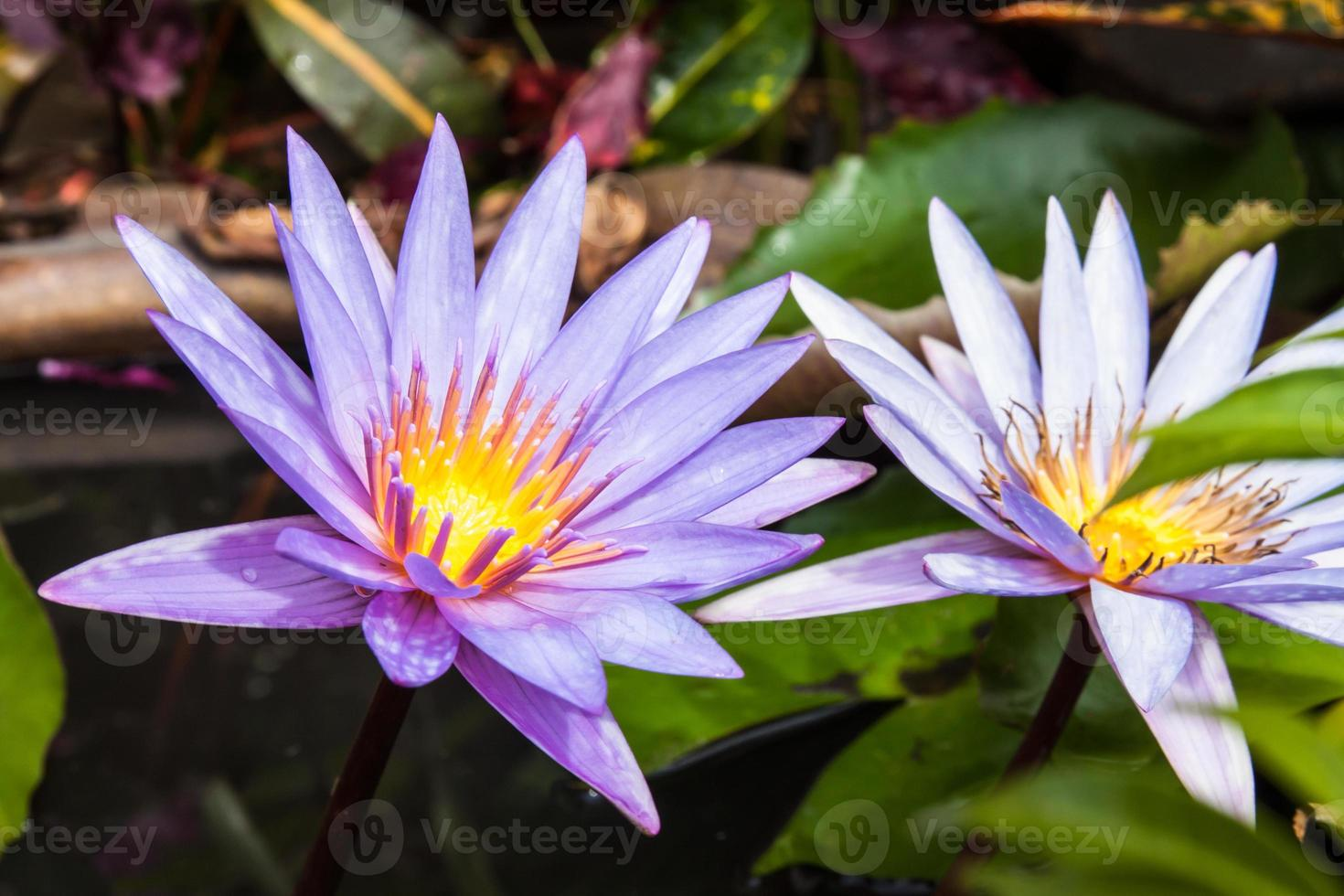 lotus blossoms or water lily flowers photo