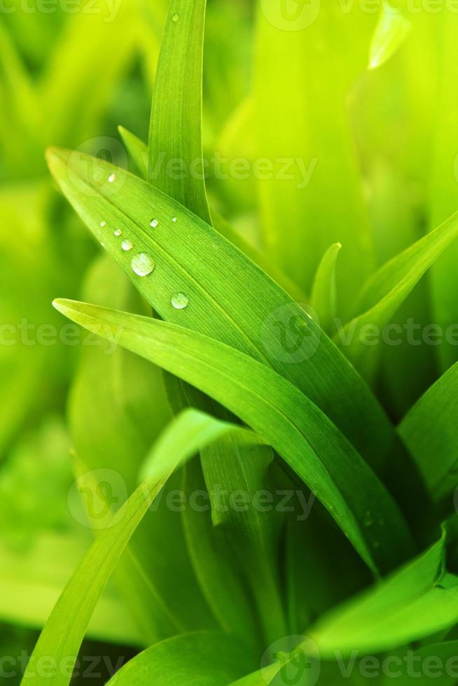 Spring grass with water drops photo