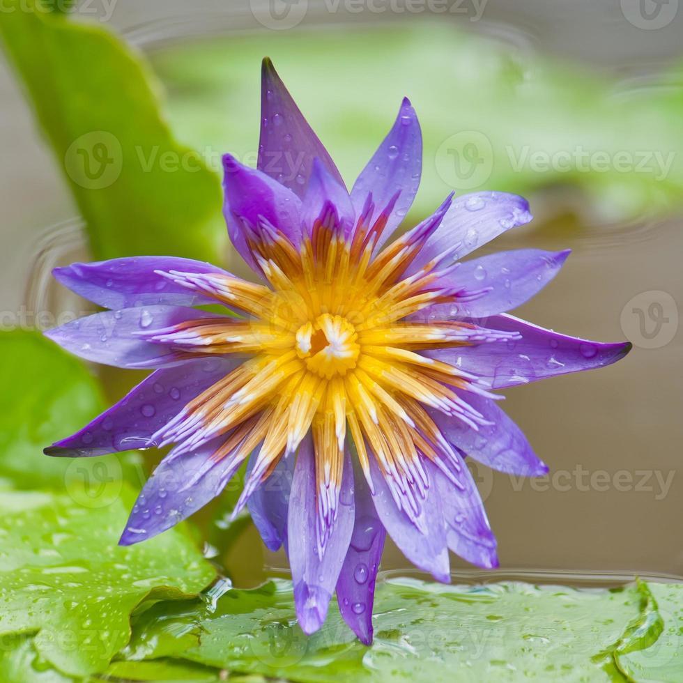 flor de loto violeta foto