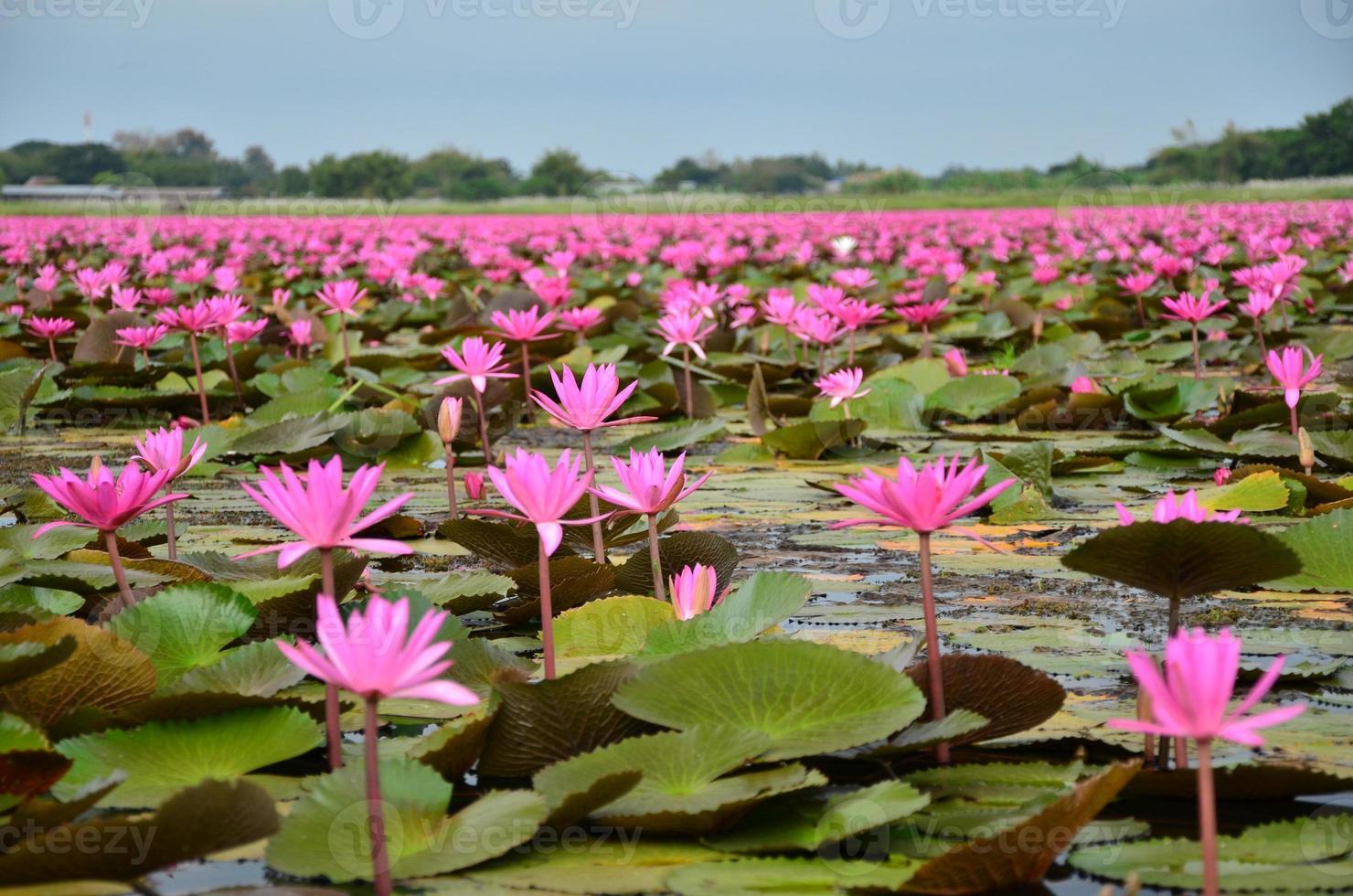 flores de loto en el lago foto