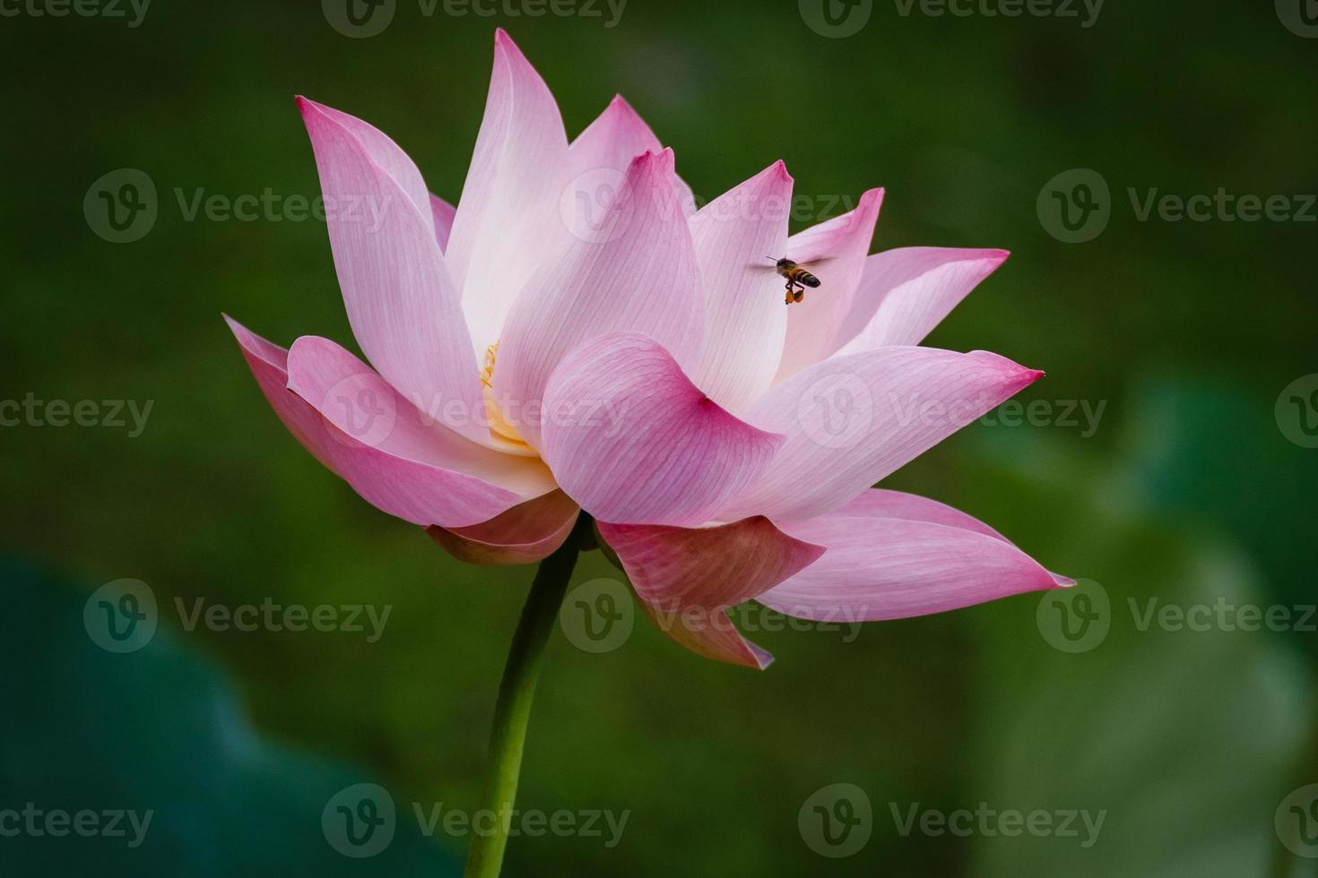 Bee flying to Pink Lotus Flower photo