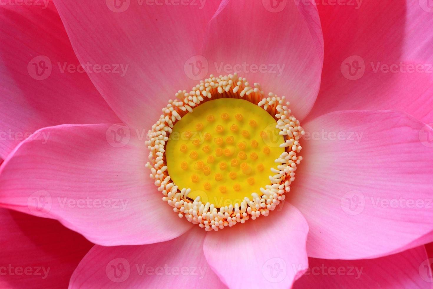 loto rosa. foto