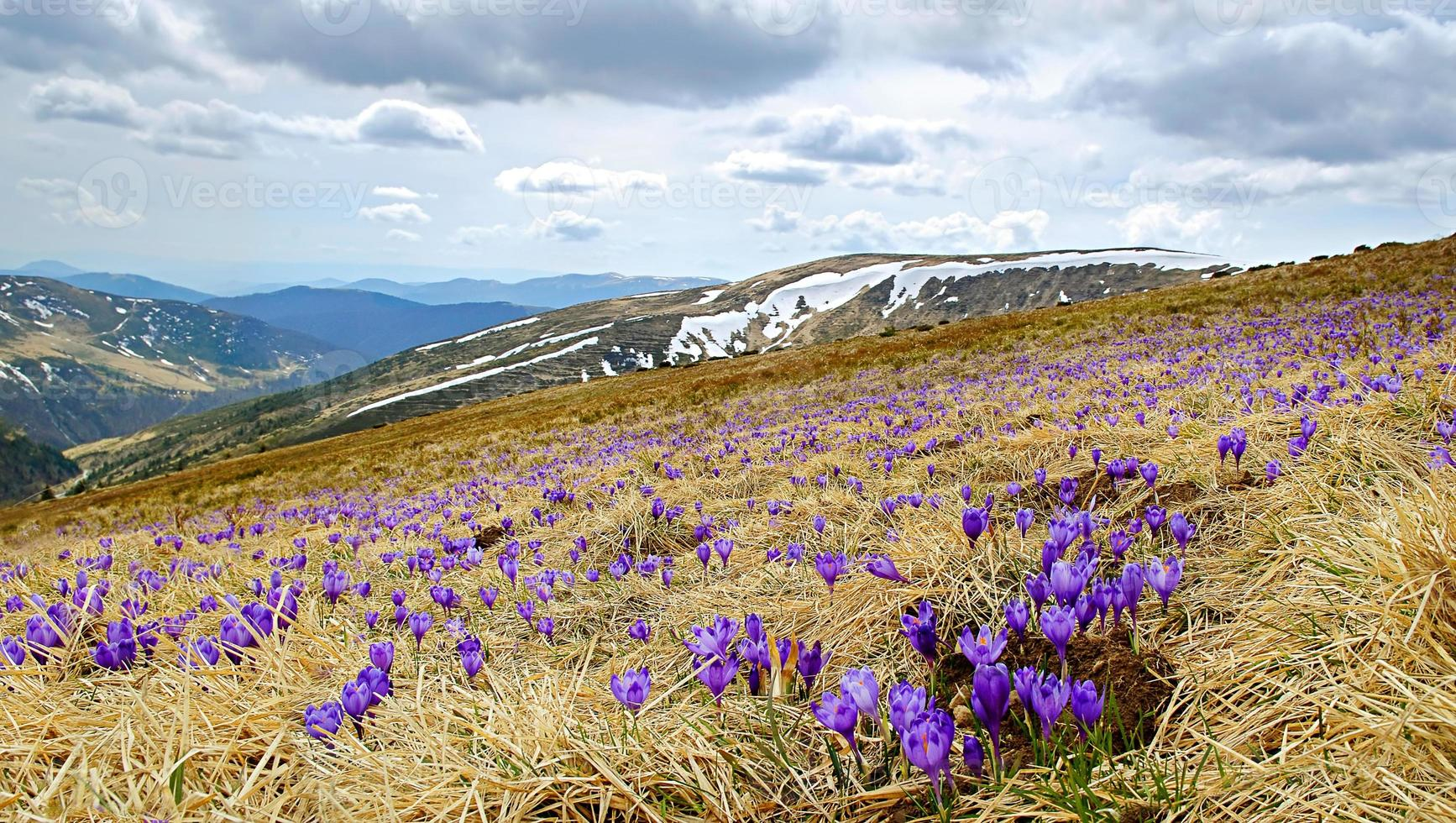 Beautiful spring landscape in Carpathians with blooming crocuses photo