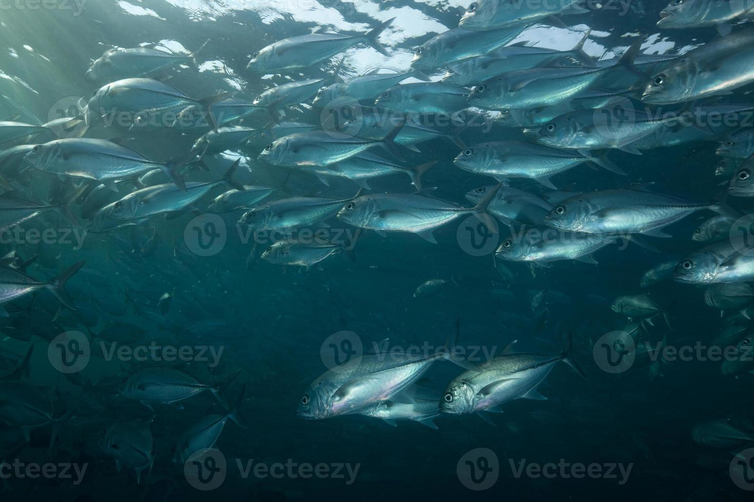 Bigeye Trevally School in the morning twilight, Tulamben, North-Bali, Indonesia photo