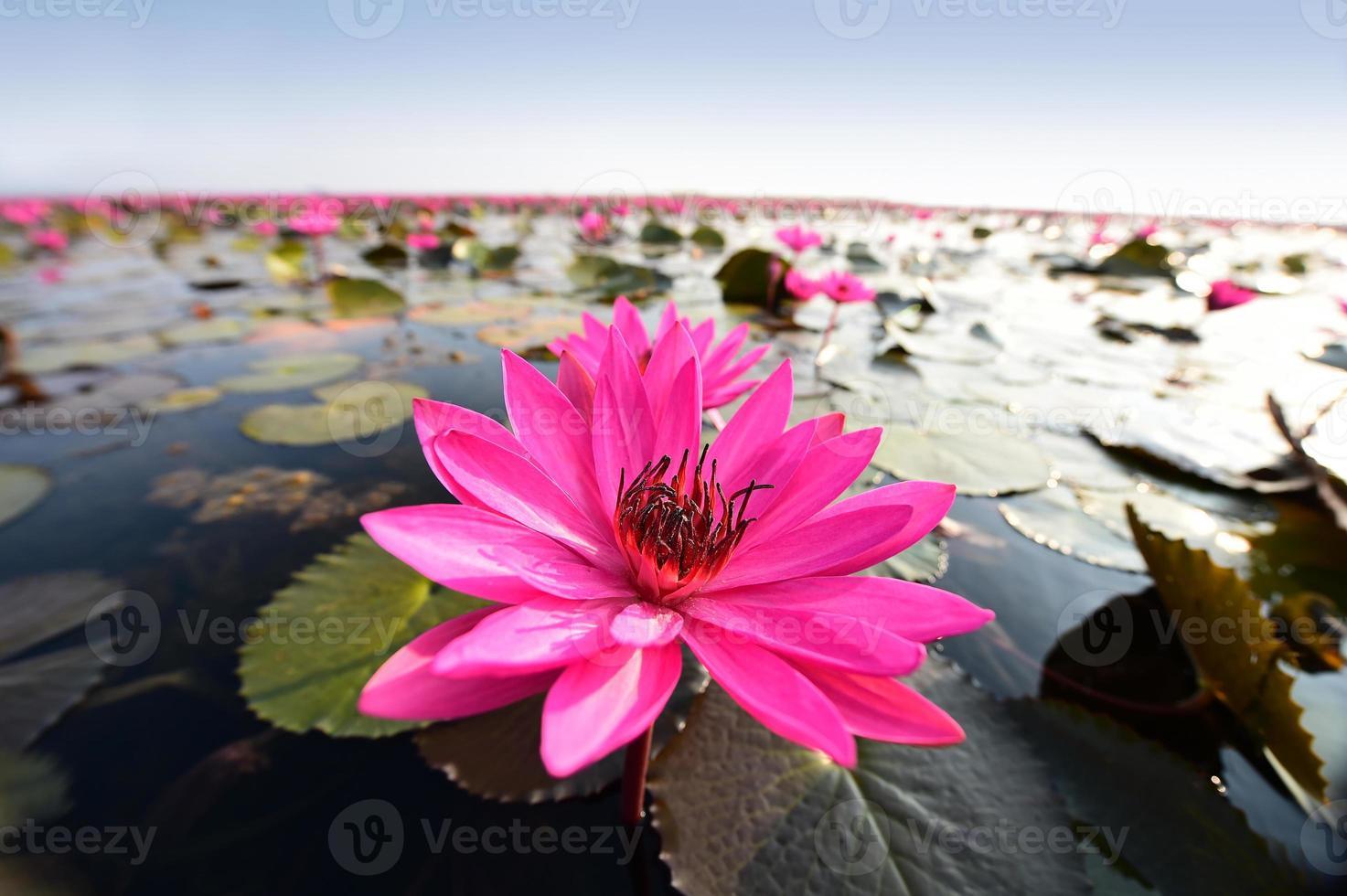 loto rosa en el estanque. foto