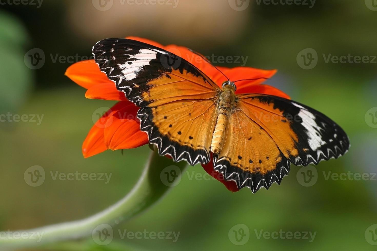 Butterflies on flowers photo